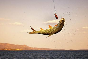 Tiger fishing Safari